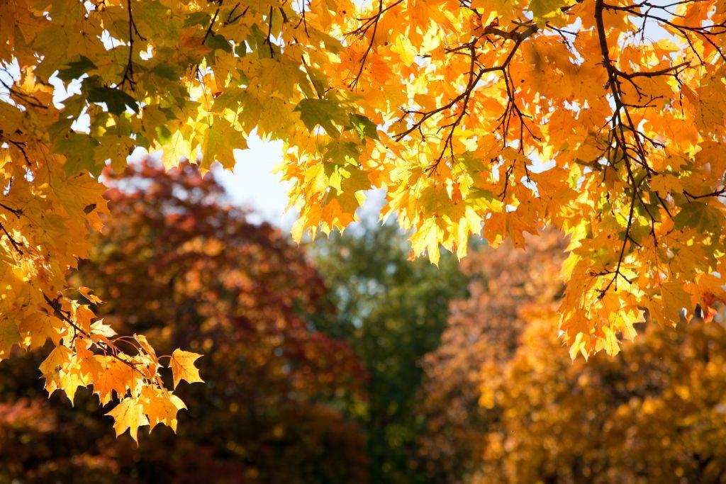 Puun syksyiset lehdet